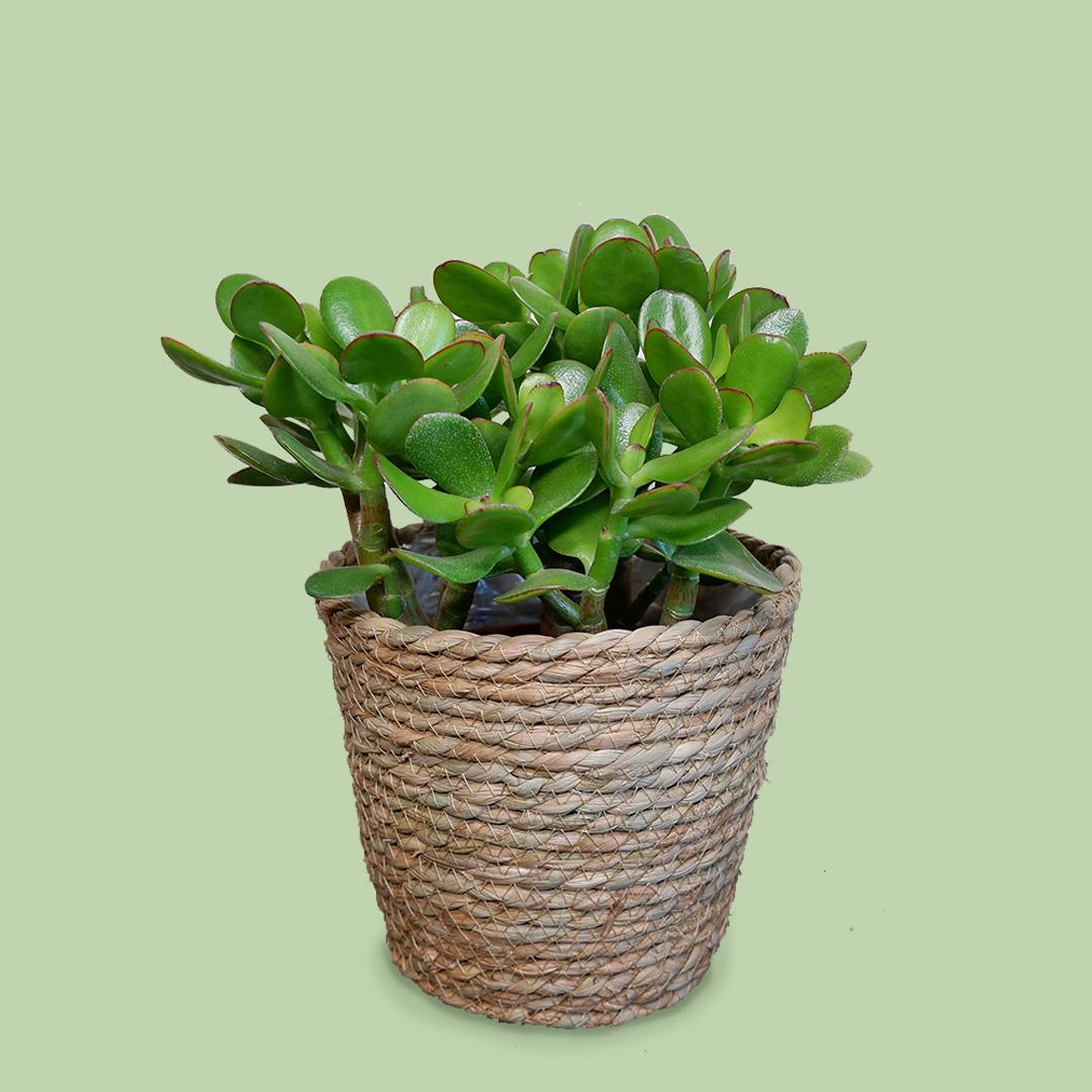 Bloom Magic - Crassula (Money Plant)